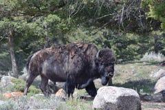 Buffels die overgaan door Stock Foto