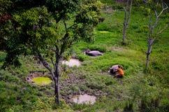 Buffels die rond Meer Toba, Indonesië baden stock foto's