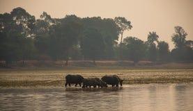 Buffels die van meer in zonsopgangtijd drinken in Angkor Wat, Kambodja Stock Foto