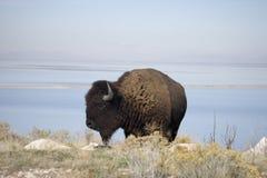 Buffels door het water Stock Foto's