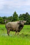 Buffels en gras Stock Foto
