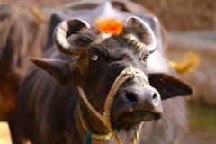 Buffels en het Leven in een Dorp royalty-vrije stock afbeeldingen