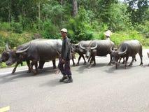 Buffels en landbouwer Stock Afbeeldingen
