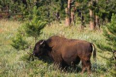 Buffels en Pijnboomboom in Custer State Park in Zuid-Dakota Royalty-vrije Stock Afbeeldingen