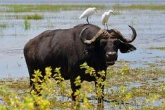 Buffels en vogels Stock Foto's