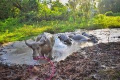 Buffels gebaad in moddervulklei stock fotografie