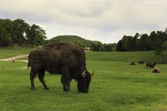 Buffels in gebied het weiden Stock Afbeeldingen