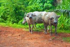 Buffels in groene wildernissen royalty-vrije stock fotografie