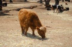Buffels in het dierentuindier, aard, dierentuin, buffels, het weinig zoogdierwild royalty-vrije stock afbeeldingen