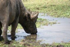 Buffels het drinken Stock Foto