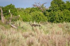 Buffels in het gras met een Veeaigrette Stock Fotografie