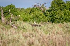 Buffels in het gras met een Veeaigrette Stock Foto's