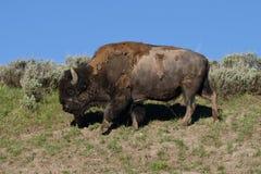 Buffels het lopen Royalty-vrije Stock Afbeeldingen