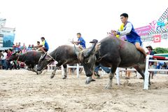 Buffels het Rennen Festival Stock Fotografie
