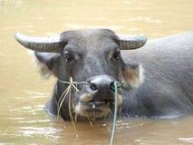 Buffels in het water Royalty-vrije Stock Afbeeldingen