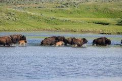 Buffels in het water Royalty-vrije Stock Foto
