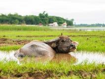 Buffels in modderbad Tijd van Geluk stock afbeeldingen
