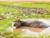 Buffels in modderbad Tijd van Geluk royalty-vrije stock fotografie