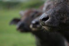 Buffels näsa Royaltyfri Fotografi