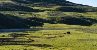 Buffels in Nationaal Park Yellowstone royalty-vrije stock afbeeldingen