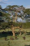 Buffels onder een boom Royalty-vrije Stock Foto's