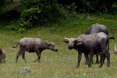 Buffels op de modder en het eten van gras in het Weiden dichtbij de wildernis royalty-vrije stock afbeelding