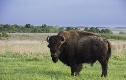 Buffels op de prairie Royalty-vrije Stock Foto's