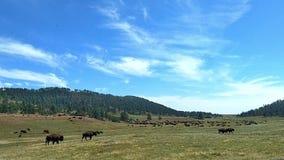 Buffels op een gebied stock videobeelden