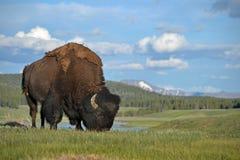 Buffels op een heuvel Stock Foto's