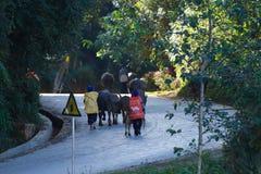 Buffels op een weg Rijstterrassen van Yunnan, China stock afbeelding