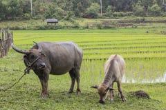 Buffels op gebied Stock Fotografie