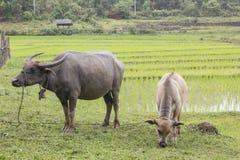 Buffels op gebied Stock Foto's