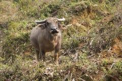 Buffels op gebied Royalty-vrije Stock Foto's