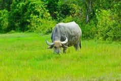Buffels op groen gebied Stock Foto's