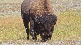 Buffels op het gebied stock footage