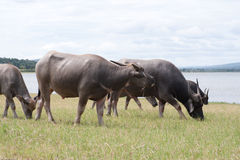 Buffels op het wilde gebied Royalty-vrije Stock Foto's