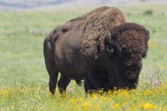 Buffels op oklahoman prairie royalty-vrije stock foto's
