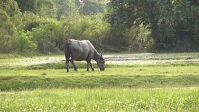 Buffels op plattelandsgebied stock footage