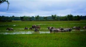 Buffels op rijst fild royalty-vrije stock fotografie