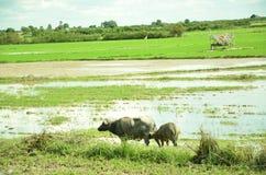 Buffels in Padieveld royalty-vrije stock fotografie