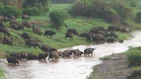 Buffels in Savannah Safari in Kenia stock video