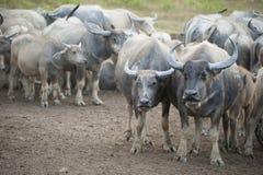 Buffels in schuilplaats Azië royalty-vrije stock foto's