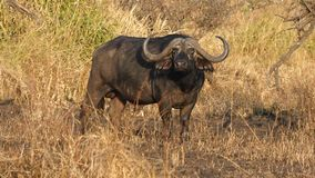 Buffels, serengetipark, Tanzania royalty-vrije stock foto's