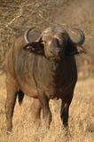 Buffels (Sycerus caffer) Stock Foto