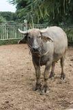 Buffels Thailand Royalty-vrije Stock Afbeeldingen
