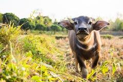 Buffels in Thailand Stock Foto's