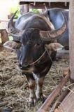 Buffels Thailand Royalty-vrije Stock Foto's