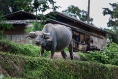 Buffels van de dorpsbewoners Royalty-vrije Stock Foto's