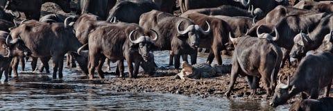 Buffels versus Krokodil Stock Foto