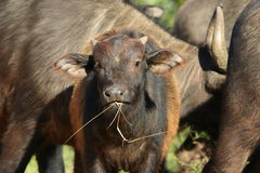 Buffelsbaby Royalty-vrije Stock Afbeelding